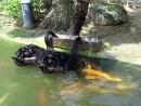 Черные лебеди кормят рыбу на Тайване!