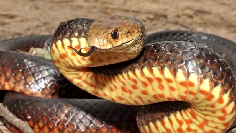 Самая Опасная Среди Смертельно Опасных Змей В Мире- Сетчатая Коричневая Змея