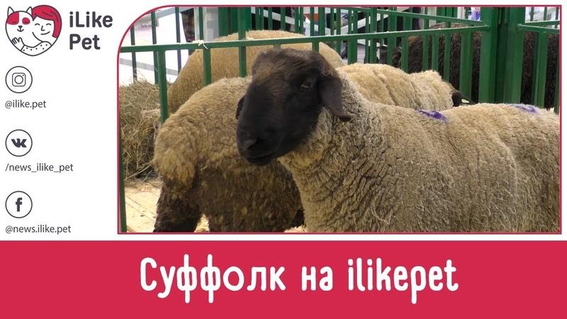 Овцы породы СУФФОЛК. Особенности, уход