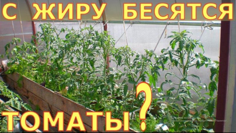 Жирование томатов МИФЫ и РЕАЛЬНОСТЬ