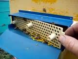 Как собирается пчелиная пыльца