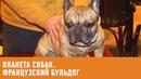 Французский бульдог Планета собак 🌏 Моя Планета