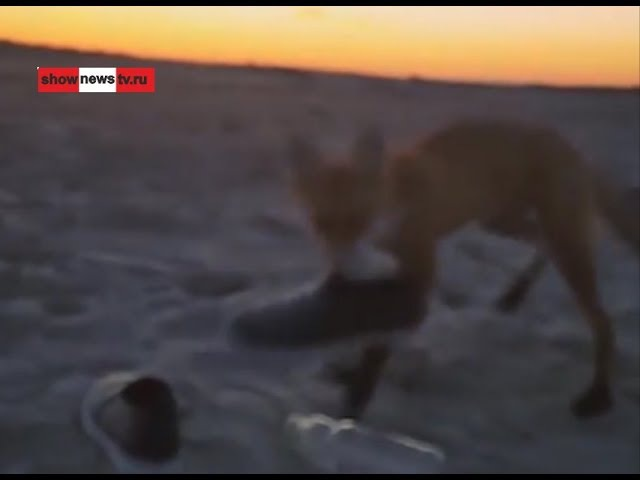 Лисёнок Жулик спёр у Даши-путешественницы тапок. Real video