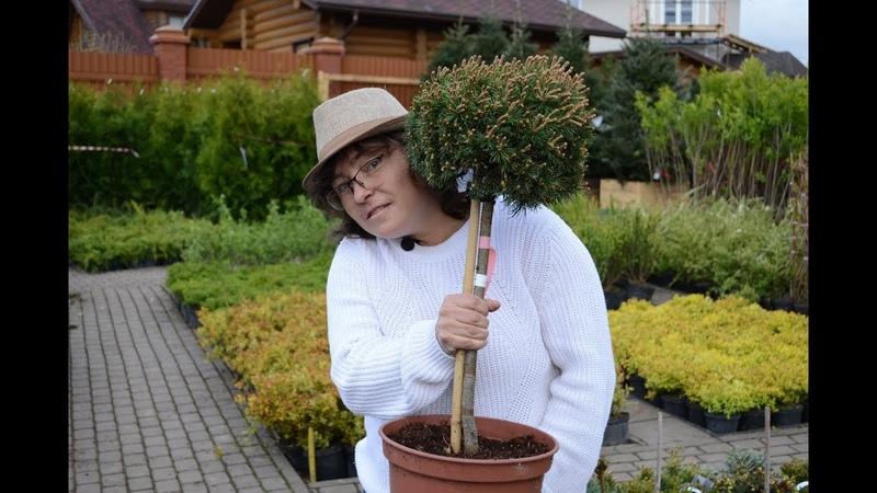 Хвойные на штамбе: обзор видов для неугомонных садоводов