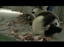 смешные медвежата панда funny panda bear cubs.mp4