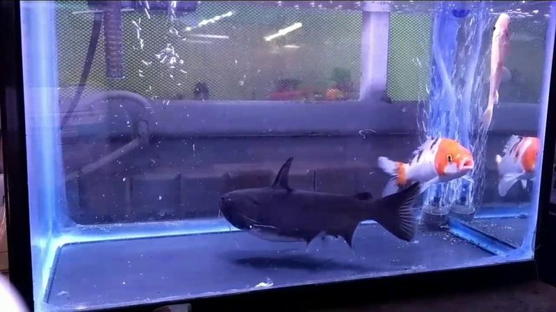 Gulper catfish Keep Calm And Eat
