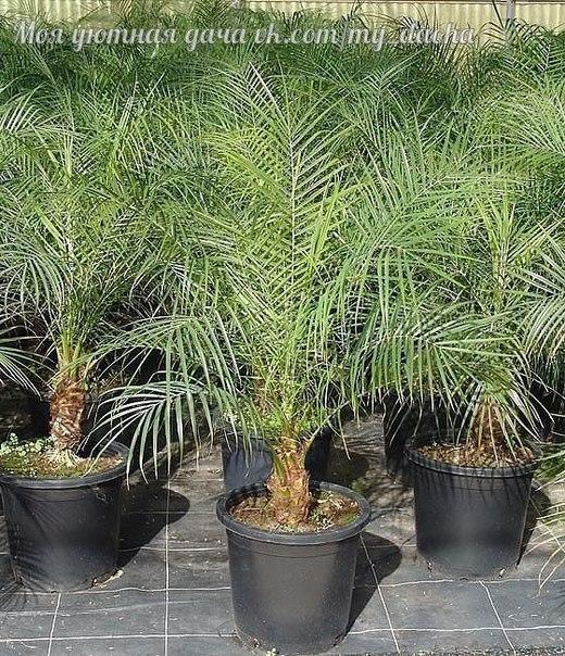 Как вырастить финиковую пальму из семечки
