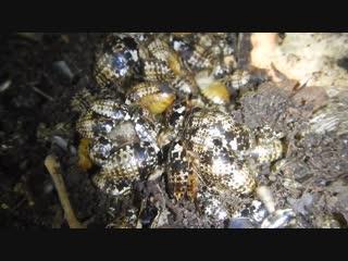 Личинки призрачных тараканов набросились на гранулы кошачьего корма