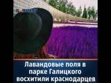 Лаванда в парке Галицкого