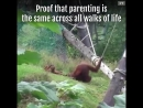 Baby Orangutan Tries To Escape Mom