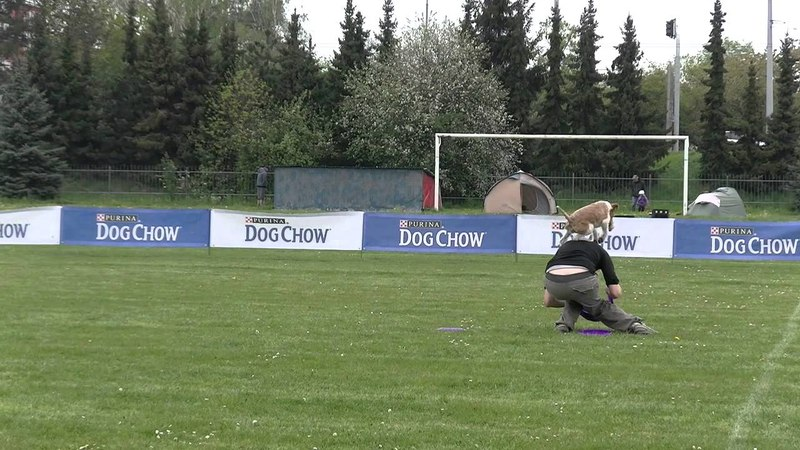 Greasy the wire fox terrier and dogfrisbee freestyle bonsai KDDF 2015 -1. place