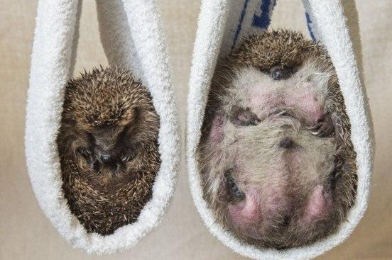 У Британії їжака-товстуна посадили на дієту через нездатність згорнутися в клубок - фото 2