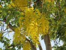 Желтые цветы, Сукотаи