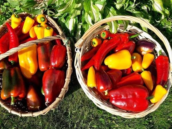Собрала урожай перца 13 июля Уход для дальнейшего урожая Обзор сортов