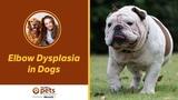 Дисплазия локтевого сустава у собак Elbow Dysplasia in Dogs