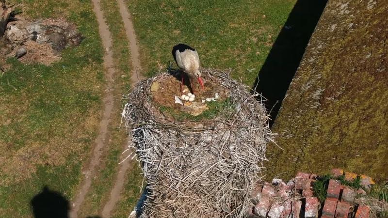 Аист высиживает яйца. Аэросъемка. Калининградская область. Кирха Пёркшен