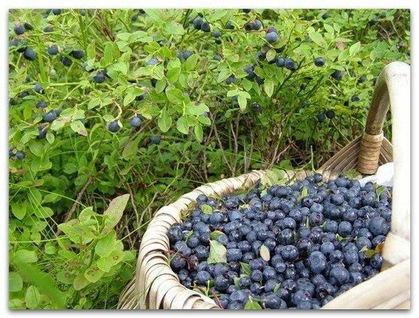Черничный чай из листочков Листья черники - один из вкуснейших чаёв, по вкусу и аромату подобный свежим ягодам, но сладковатый, без кислинки. А вот сушёные ягоды, кстати, не придают чаю