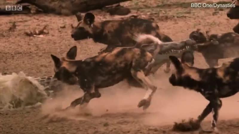 Нильский крокодил утащил гиеновидную собаку