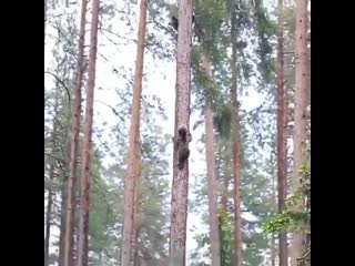 Have you ever thought how bear cubs climb on tree?  well... this is how they do it