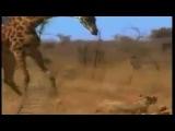 Жираф против льва. Жирновский форум ЖИРАФ