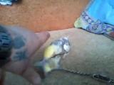 Мой попугай Коша.Был пойман 3 года назад (480p).mp4