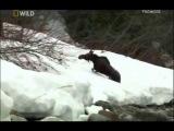 Охота в животном мире! Погоня медведя за лосем.