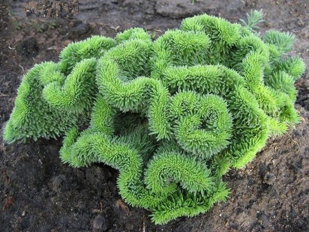 очиток отогнутый ,,кристатум,. очиток отогнутый ,,кристатум,, - это травянистое многолетнее вечнозелёное растение с короткими, до 20 см высотой побегами. его корни разрастаются горизонтально,