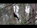 чёрный дрозд поёт Павловск 05 05 2018
