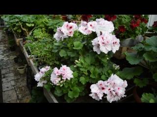 HazelMasterpieceОчень крупные волнистые белые цветы. На верхних лепестках небольшое тёмно-вишнёвое пятно с красным ореолом.