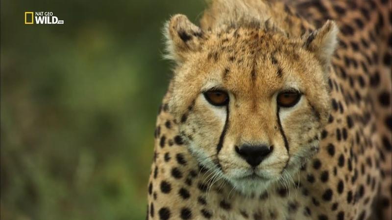 Африка: Убийцы с фантазией (3 из 3) - [Full HD 1080i]