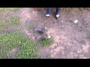 Борзый голубь из Тамбова vb-i