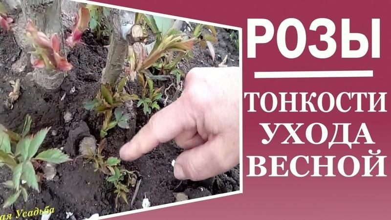 Уход за розой весной. Маленький секрет весеннего ухода за розой