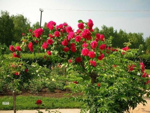 Выращиваем черенки розы в картошке ! Приступаем к процессу : Роем траншею на открытом хорошо освещенном грунте. в защищенном от ветра месте и заыпаем песок Эта траншея должна иметь одну вертикальную сторону. и около 6 дюймов (15 см) глубины; в которую насыпаем на дюйм или два на дно песок. Летом, в самый разгар цветения, у роз появляются хорошие молодые побеги, которые немного наклонно отрезаем секатором. Желательно выбирать побеги толщиной с карандаш , которые более стойко будут размножиться.…