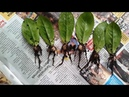 Zamioculcas (Zambia bitkisi nasıl çoğaltılır ?) -1