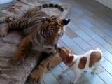 Pies i tygrys