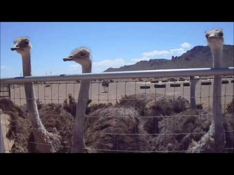 OSTRICHES AT OSTRICH RANCH ARIZONA USA May 2017 СТРАУСЫ АРИЗОНА