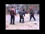 Суровый собачий бой