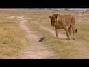 Борись и бейся до последнего и никогда не сдавайся! Маленький мангуст в схватке со львом.