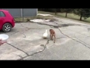 Duck follows dog everwhere 995224