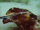 Опасная и грациозная рыба скат хвостокол