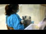 Маленькая панда на медосмотре