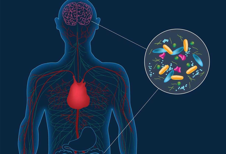 Что такое головная фаза пищеварения?