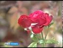 Клубника в октябре: на участках ярославцев вторая волна урожая ягодных культур