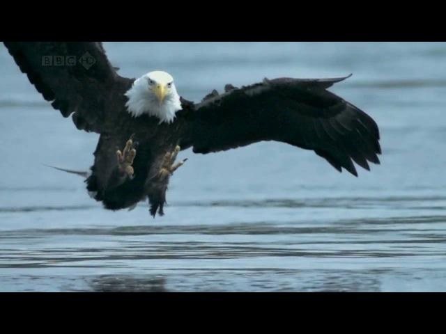 Bald Headed Eagle catches salmon
