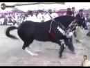 Танцующая лезгинку лошадь.