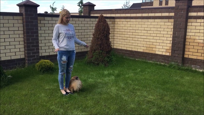 Умнейшая собака немецкий шпиц German Spitz выполняет команду