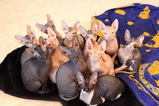 сфинксы лысые кошки рыжие