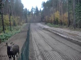 Лось эмигрировал из Беларуси в Литву, перепрыгнув забор на границе.