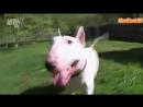Введение в собаковедение Бультерьер