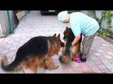 Длинношерстные Немецкие овчарки Дакар и Юта. Long-haired German Shepherd Dogs Dakar and Utah.